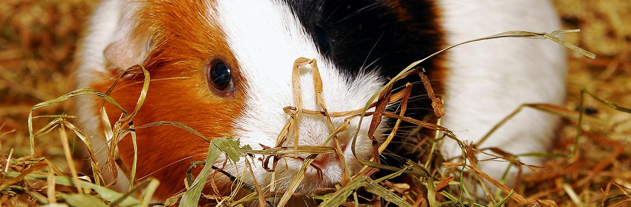 Meerschweinchen Futter: Heu
