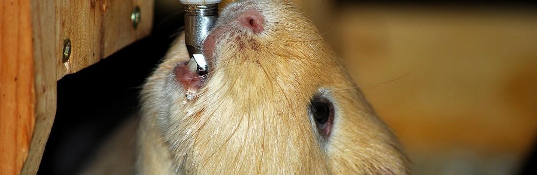 Faszination Meerschweinchen:Alles Wissenswerte rund um die kleinen ...