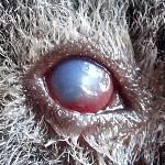 Augenverletzung beim Meerschweinchen