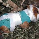 Ganzkörperverband nach Operation beim Meerschweinchen