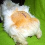 Meerschweinchen Tumor