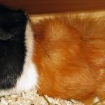 Meerschweinchen Tierhaltung und der Mietvertrag