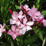 Oleander - Von Alvesgaspar - Eigenes Werk, CC BY 2.5, https://commons.wikimedia.org/w/index.php?curid=2190478